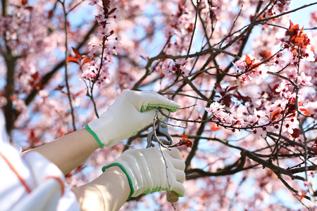 Hands during Spring pruning of plants. Plant care in the garden