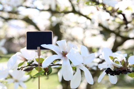 Beautiful, delicate magnolias. Plate with space for text against a background of a tree
