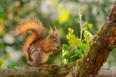 Portrait of one european squirrel sitting on branch of apple tree nibbling on young branch sapling