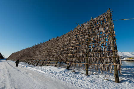 Giant wooden racks with tons of cod fish hanging in open sea air to dry and become stockfish on the Lofoten islands in Norway on clear winter day with blue sky