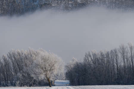 Single tree in winter with hoarfrost and snow standing before line of trees with thick fog in background