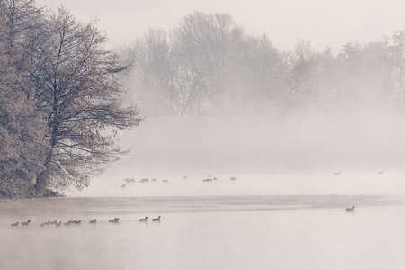 Group of water birds swimming on Danube river in early winter morning with moody thick fog