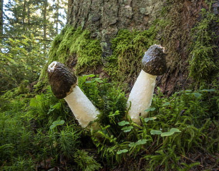 phallus: Two common stinkhorns - Phallus impudicus - with brown cap stand in the moss at a tree trunk.