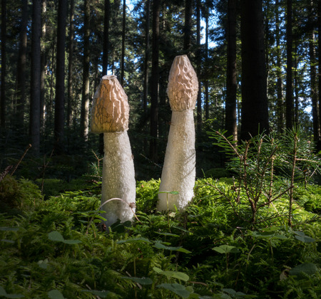 phallus: Two common stinkhorns with white cap - Phallus impudicus - stand in the forest in the moss. Stock Photo