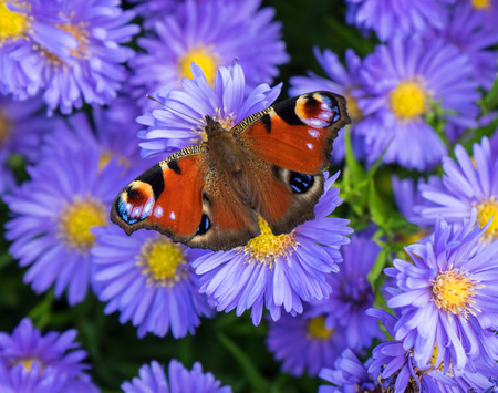A peacock butterfly - Aglais io - sits on purple-yellow flowers photo