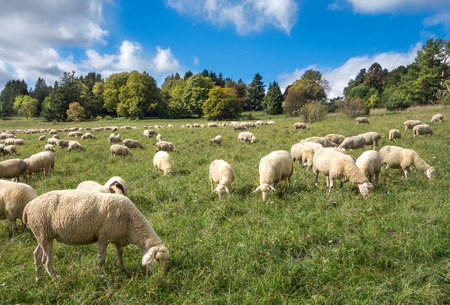 A flock of sheep eats in a meadow in late summer in the Swabian Alps, Germany. photo