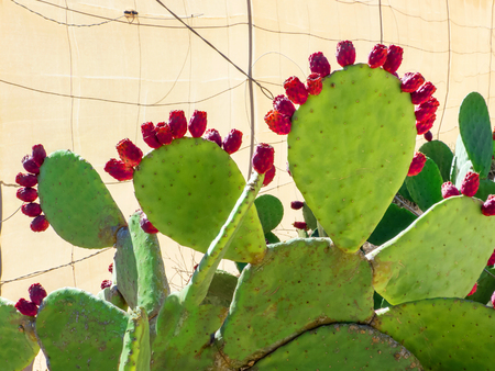 liczne: A big older prickly pear with numerous red fruit stands in front of the cloth wall of a plantation on Fuerteventura, Canary Islands, Spain.