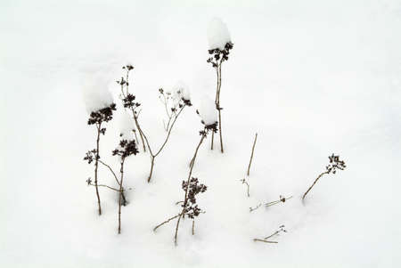 Covered in deep snow, withered grasses in winter