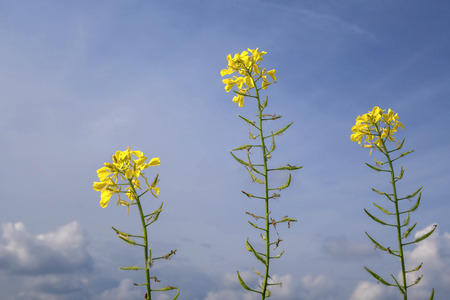 next to each other: Three single, blooming rape plants are next to each other in front of a blue sky