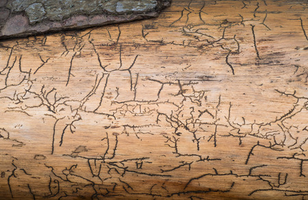 Pattern caused by bark beetles under the bark of a tree photo