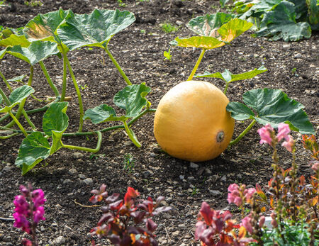 late summer: A single, big, yellow pumpkin grows in a cottage garden in late summer, taken in September in Germany.