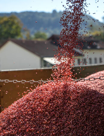 trickle down: Red dressed seed is falling from a greater height in a heap