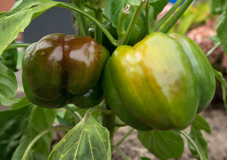 close p: Close up of two big, green-brown bell peppers did grow on a pepper plant in a cottage garden