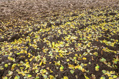 close p: Detail shot of yellow autumn leaves on a brown plowed field