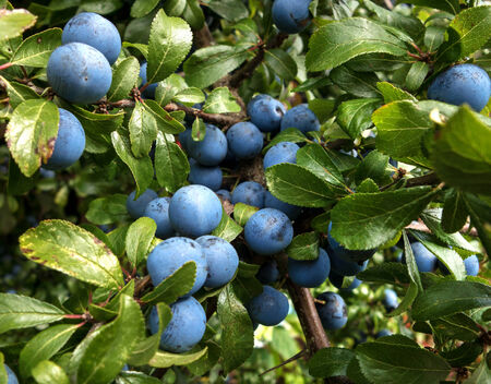 numerous: Close up of a blackthorn - Prunus spinosa - with Numerous fruits