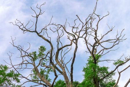 branched: Branched treetop of a deciduous tree with many bare, so quiet but some branches green