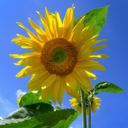 close p: Young sunflower against blue sky, photographed from below in close-up