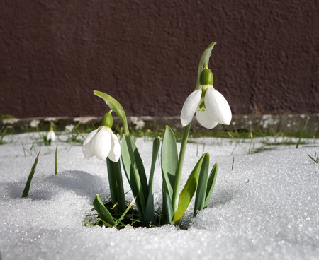 close p: A snowdrop with two blossoms stands in the snow in a front garden, taken in February in Germany.