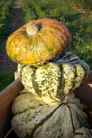 Three big round ornamental pumpkins in yellow, green and white lie one above the other in a wooden box on a field. photo