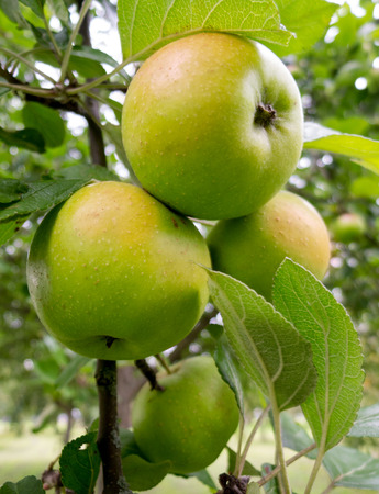 close p: Several green, still unripe apples hang close together on an apple tree