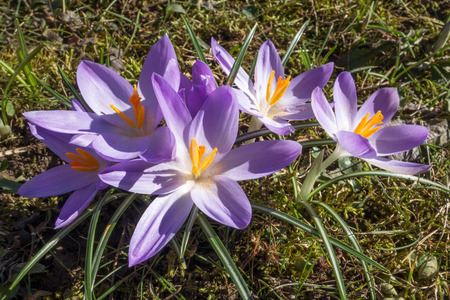 pistils: A group of purple crocuses with yellow pistils blooms on a meadow in Germany.