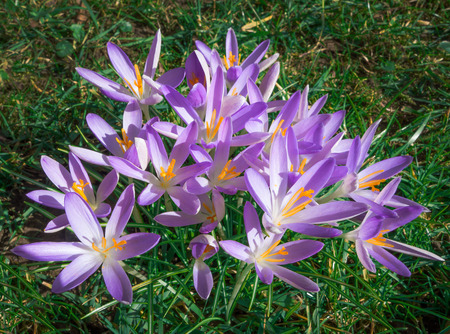 pistils: A larger group of purple crocuses with yellow pistils blooms on a meadow.
