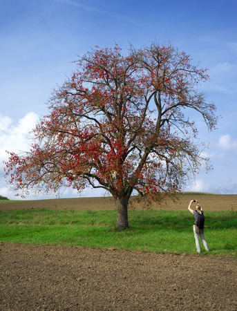 pear tree: A blond woman with backpack photographed an autumnal, red-colored pear tree, standing on a meadow between brown fields.