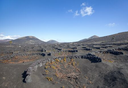 semicircular: Typical, with semicircular stone walls built vineyards in the wine-growing area La Geria in the south of Lanzarote, Canary Islands, Spain.