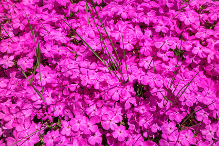 interspersed: Pink blooming phlox interspersed with some green blades of grass, taken in close-up in April in Germany.