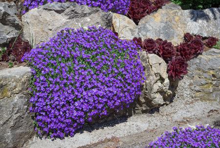 Purple blooming aubrieta in a rock garden, taken in April in Germany. Stock Photo