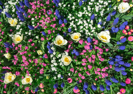Colorful flower bed in pink, blue and white in spring. Taken in close-up with a view from above.