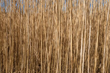 marsh plant: Dense reeds - brown, withered stems in close-up at the end of the winter