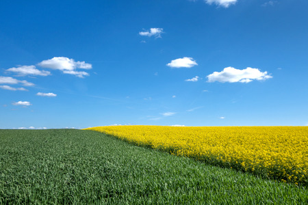 A green cornfield and a yellow blooming rape field with diagonal run. To this a blue sky with a few small white clouds. Stock Photo