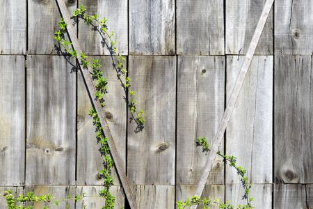 twining: A young plant creeps on the gray wooden wall of an old wooden shed Stock Photo