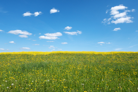 blue green landscape: Yellow blooming wild spring meadow with behind rape field and a blue and white sky