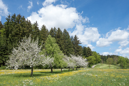 blossoming yellow flower tree: Several blooming apple trees in a diagonal row of fruit trees amidst a blossoming spring meadow in rural landscape Stock Photo