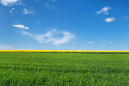 View over a young green cornfield with a behind yellow blooming rape field. To this a blue sky with small white clouds. Stock Photo