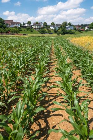 corn rows: Young corn plants growing in rows in a field near a village taken in June in Germany in vertical format.