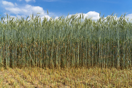 secale: Green rye with very long stalk