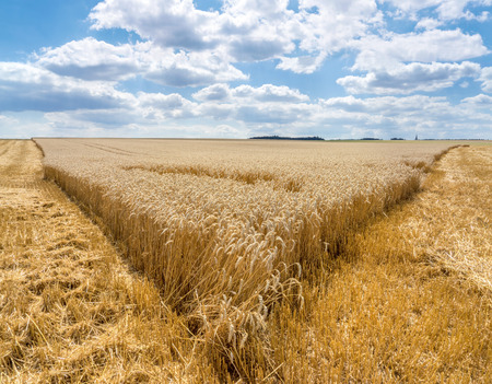 wheatfield: Tip from a Partially harvested wheat field