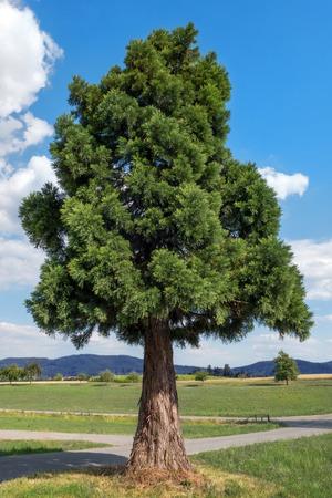 Jonge enige sequoia in landelijk landschap