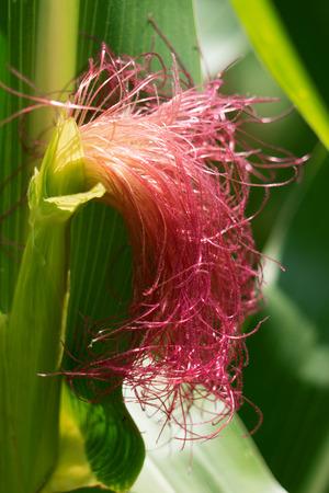 corn on the cob: Red style on a corn cob, so called corn or corn beard hair