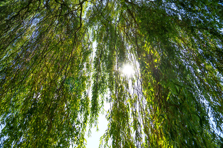 Sun shines through a willow tree 版權商用圖片