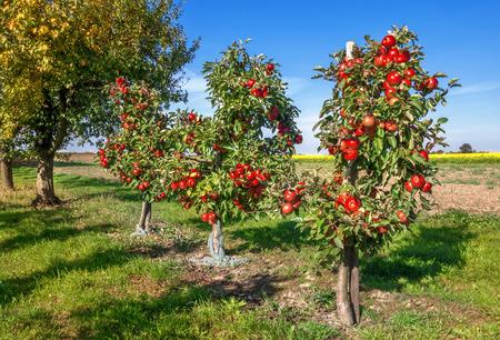 arbol de manzanas: Manzanos