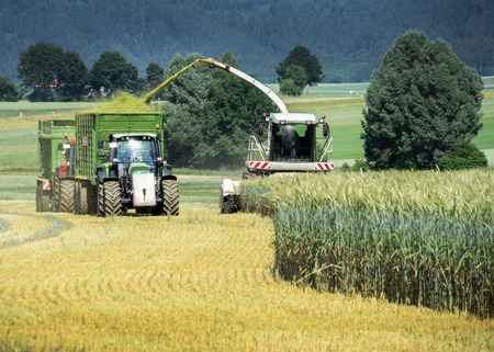 Harvesting of whole crop silage Stock Photo