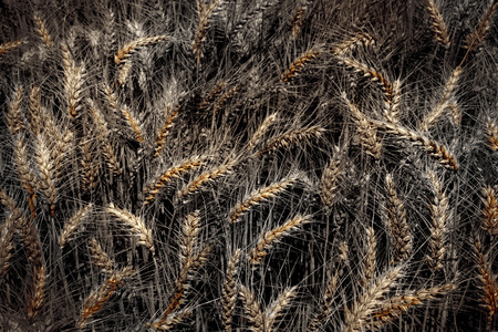 alienated: Barley in artistically alienated color