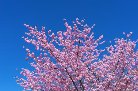 Lush blooming Japanese cherry