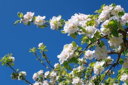 hojas de arbol: Rama de un manzano en flor