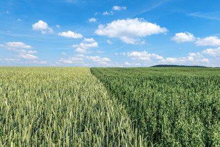 wheatfield: Wheat field next to a field with green oat