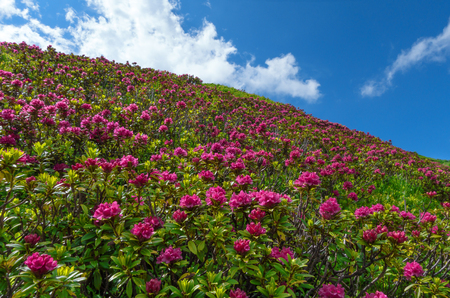 slope: Blooming alpine roses on a slope Stock Photo